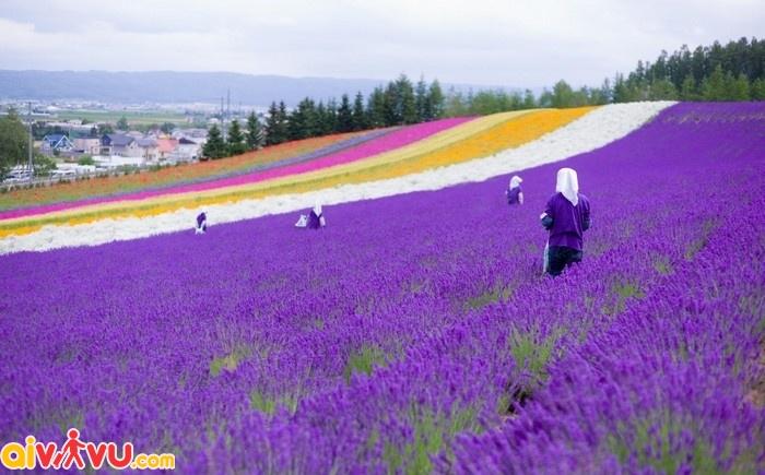 Hoa oải hương ở thung lũng Furano