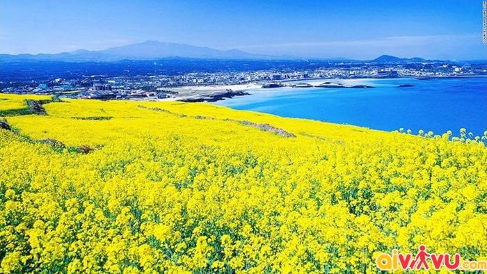 Hoa cải dầu vàng trên đảo Jeju