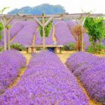 Cánh đồng Lavender ở thị trấn Banstead