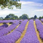 Cánh đồng Lavender thơ mộng, quyến rũ