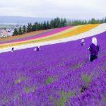 Những thảm hoa rực rỡ ở thung lũng hoa Furano