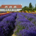 Cánh đồng hoa Lavender ở thung lũng Y Lê