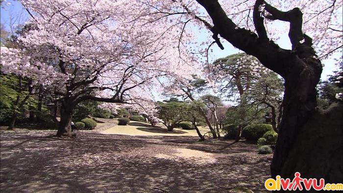 Hoa đào nở rộ trong vườn quốc gia Shinjuku Gyoen