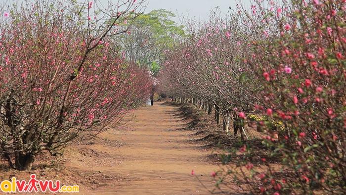 Vườn đào ngày xuân ở Hà Nội