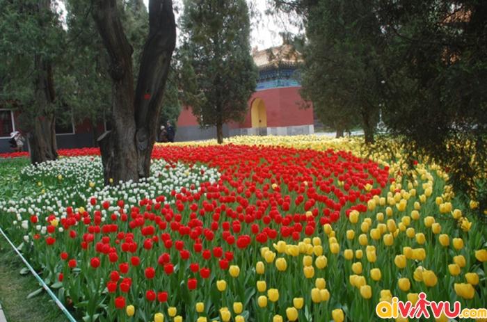 Hoa Tulip trong công viên Trung Sơn