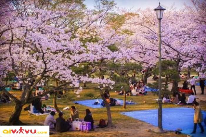 Lễ hội hoa anh đào ở Jeju - Hàn Quốc