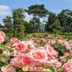Thưởng ngoạn tại vườn hồng Bagatelle của Pháp