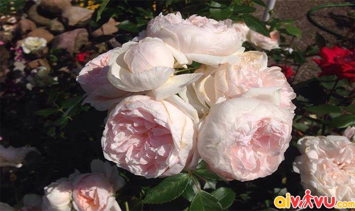 Vườn hồng Bagatelle tuyệt đẹp