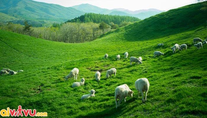 Nông trại cừu Daegwallyeong