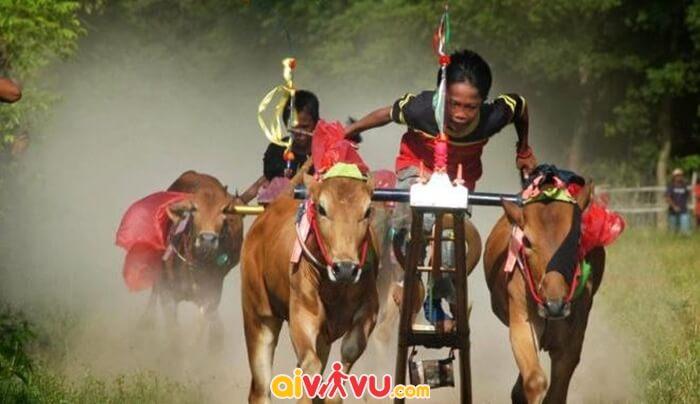 Lễ hội đua Bò ở đào Madura