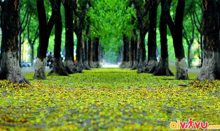 Phố Nguyễn Du thơm hoa sưax