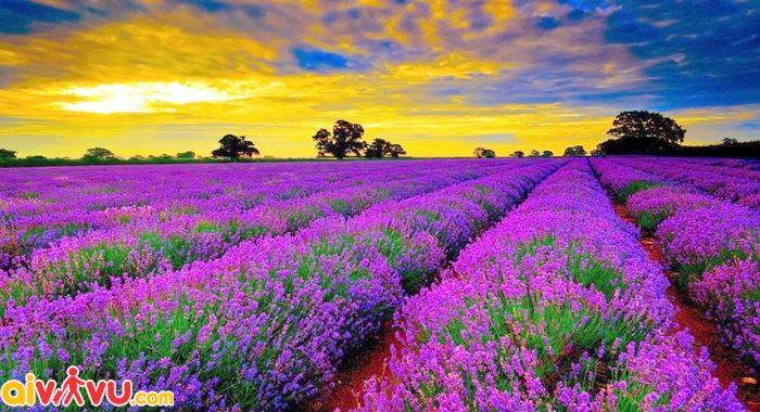 Ngây ngất trước vẻ đẹp của cánh đồng hoa - Provence