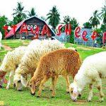 Ghé thăm nông trại cừu Swiss Sheep Farm