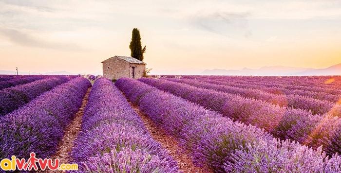 Cánh đồng Provence nước Pháp