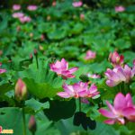Lễ hội hoa Sen Buyeo Seodong