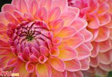 Nhật Bản tháng 7 rực rỡ sắc màu thược dược Dahlia