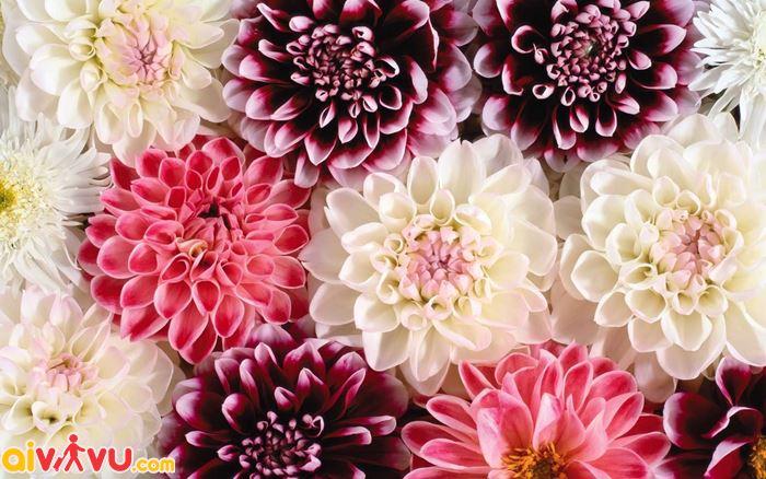 Lễ hội hoa thược dược Dahlia