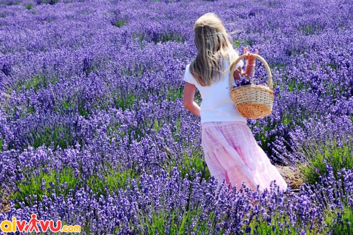 Lavanda loài hoa có hương thơm tuyệt vời giúp thư giãn
