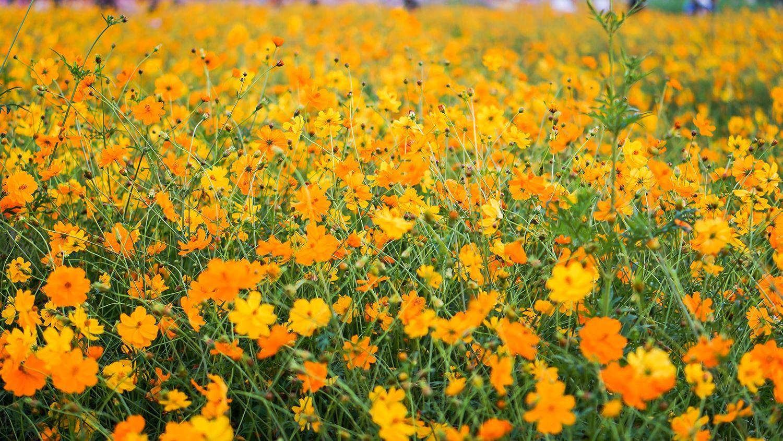 Vườn hoa Cosmos ở Đà Lạt