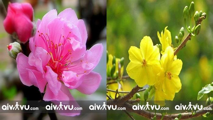 Hoa mai, hoa đào từ lâu đã trở thành nét truyền thống trong dịp tết