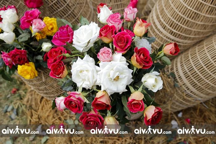 Lễ hội Hoa Hồng ở Úc