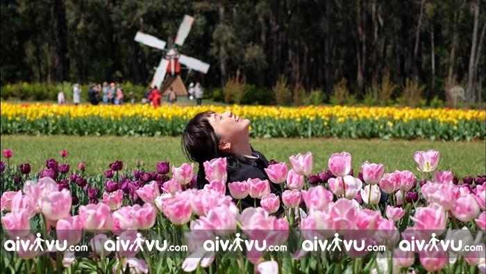 Cánh đồng hoa cải dầu ở Úc