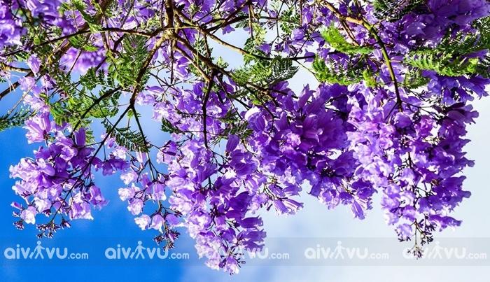 Tận hưởng vẻ đẹp hoa phượng tím của Úc ngay tại Đà Lạt trong tháng 4