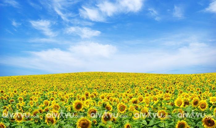 Cánh đồng hoa Hướng Dương Vinh