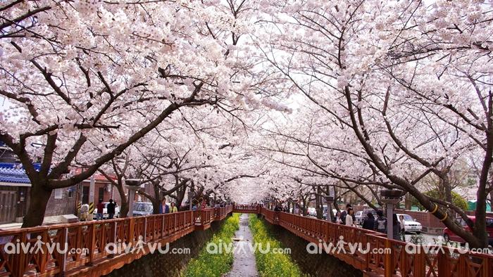 Lễ hội hoa anh đào Jinhae