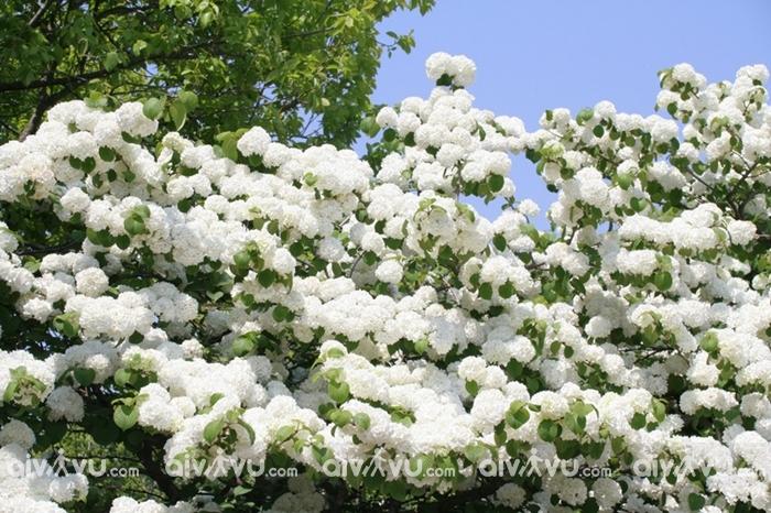 Du lịch Tây Nguyên, ngắm vẻ đẹp nhẹ nhàng của những vườn hoa cà phê trắng muốt