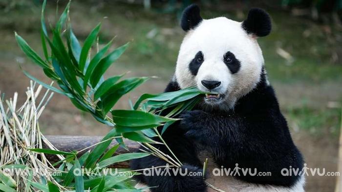 Gấu trúc - Động vật đặc biệt ở sở thú Bắc Kinh, Trung Quốc
