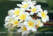 Hoa Chăm Pa quốc hoa của Lào biểu tượng của Lào