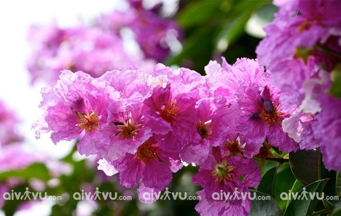 Du lịch Hà Nội mùa hè ngắm hoa Bằng lăng
