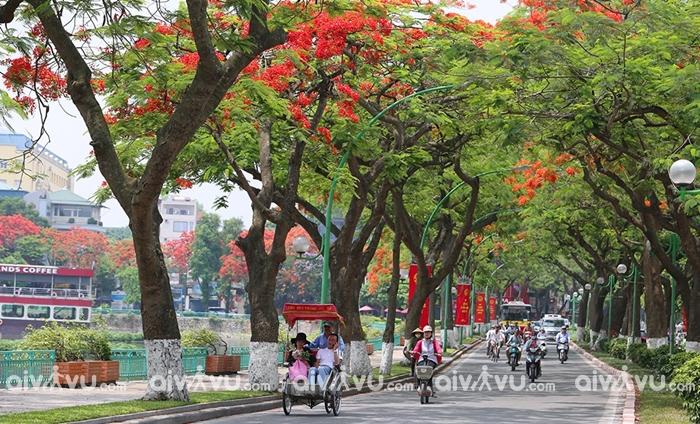 Hà Nội mùa hè ngắm sắc đỏ rực rỡ của hoa Phượng