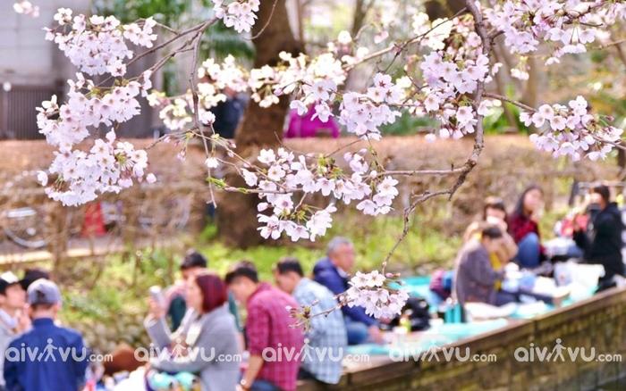 Lễ hội hoa anh đào Hanami lễ hội Nhật Bản đặc sắc nhất