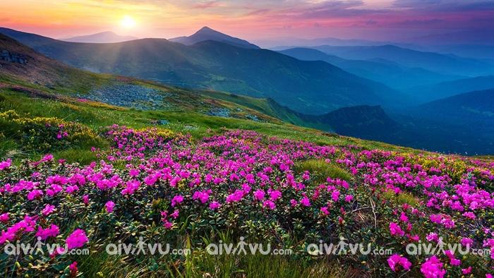 Núi Yeongchwi nổi tiếng với hoa đỗ quyên