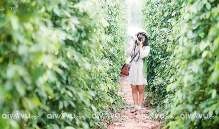 Vườn tiêu Huỳnh Thy một trong những vườn tiêu đẹp nhất Phú Quốc