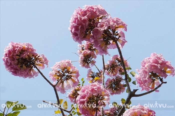 Vẻ đẹp lãng mạn của hoa kèn hồng trên đường phố Sài Gòn