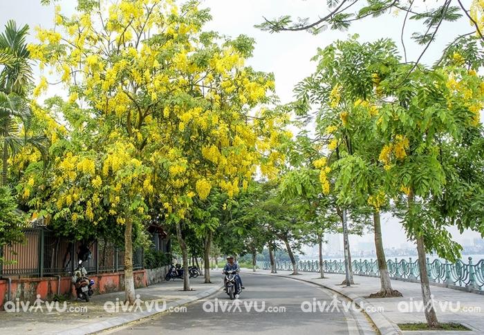 Rực rỡ sắc vàng muồng hoàng yến Hồ Tây – Cảnh 'checkin' siêu lãng mạn