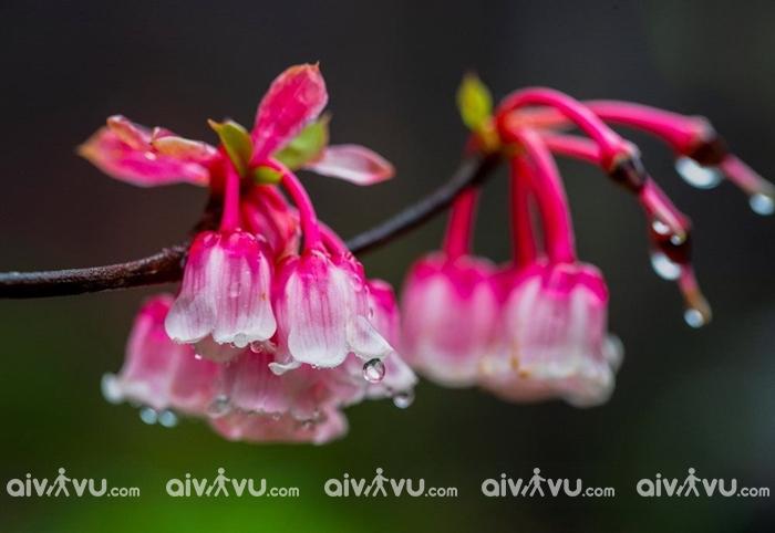 Hoa đào chuông Bà Nà nở vào thời điểm nào?