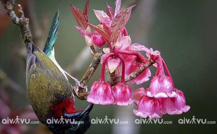 Tìm hiểu về loài hoa Đào chuông