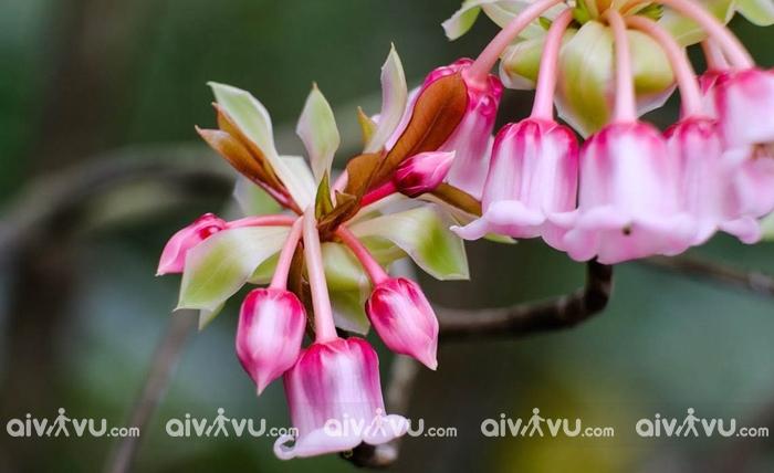 Điểm chiêm ngưỡng vẻ đẹp của hoa đào chuông