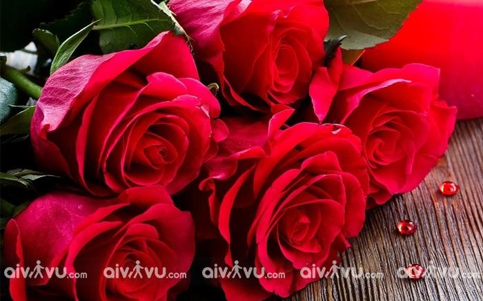 Hoa hồng quốc hoa của Mỹ