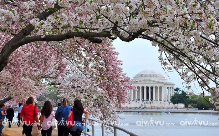 Lễ hội hoa anh đào Cherry Picks